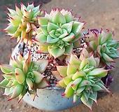 짧은잎적성(큰얼굴7 아가15) Echeveria agavoides Akaihosi