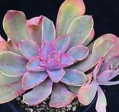 레인보우썬셋 358|Echeveria rainbow
