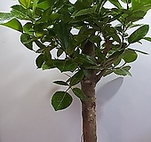 뱅갈고무나무 고목|