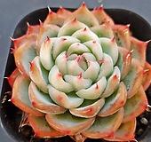 핑크크리스탈1162|Echeveria Pink Crystal