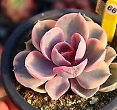 웨스트레인보우 660121 Echeveria rainbow