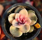 웨스트레인보우 110121 Echeveria rainbow