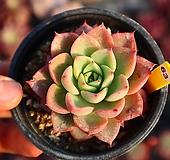 아이스핑키 630121|Echeveria cv Pinky