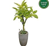 뱅갈고무나무 개업축하화분 가게오픈 거실인테리어식물 DLP-361|