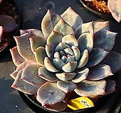 파랑새 570121|Echeveria Blue bird