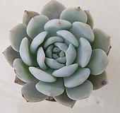성영|Echeveria elegans Potosina