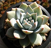 파랑새0121-1|Echeveria Blue bird