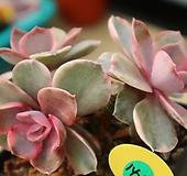 웨스트레인보우1427 Echeveria rainbow
