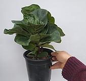 플로스토어 떡갈 고무나무 중대품 특급 010|