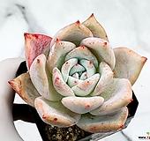 콜로라타hy(대) 22-404 Echeveria colorata