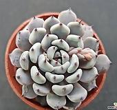 검은발톱자라고사1306|Echeveria mexensis Zaragosa