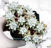 화이트그리니(자연군생) 22-469|Dudleya White greenii
