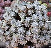화이트그리니(자연군생)1-328|Dudleya White greenii
