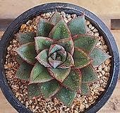 모노케로티스 Echeveria Monocerotis