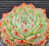 콜로라타 122-2 Echeveria colorata