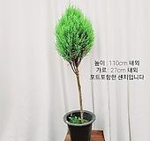 김규리플라워/매력적인 공기정화식물 핫도그율마 