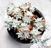 화이트그리니(자연군생) 23-29|Dudleya White greenii