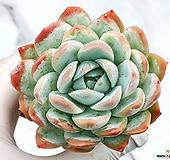 고스트콜로라타 23-52 Echeveria colorata