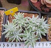 화이트그리니자연군생목대|Dudleya White greenii