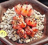 원종자라고사(묵은둥이라 분리될수도 있어요)|Echeveria mexensis Zaragosa