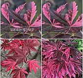 일본단풍 레인보우|Echeveria rainbow
