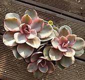 65 웨스트레인보우 군생.적심  Echeveria rainbow