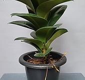 소피아고무나무 크고 풍성한 잎을 가진 소피아고무나무|
