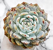 오렌지먼로(대) 23-223|Echeveria Monroe(Orange)