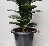소피아 인도고무나무 중품|