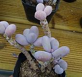 문스톤61 Pachyphytum Oviferum Moon Stone
