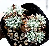 화이트그리니 23-252|Dudleya White greenii
