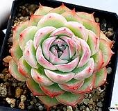 핑크크리스탈 23-278|Echeveria Pink Crystal