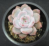 성영 0122|Echeveria elegans Potosina