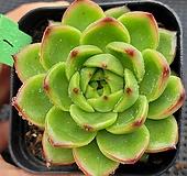 문스톤 1 Pachyphytum Oviferum Moon Stone