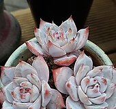파랑새.묵둥이|Echeveria Blue bird