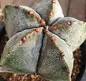 4 대품 실생 난봉옥선인장 ( 노란꽃피어요)|Haworthia truncata