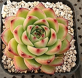 문스톤 Pachyphytum Oviferum Moon Stone