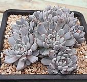 검은발톱 매력만점 묵둥이 검은발톱흑자라고사-122|Echeveria mexensis Zaragosa