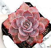 핑키 23-445|Echeveria cv Pinky
