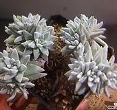 화이트그리니묵은목대자연군생(15두쯤) 122-843|Dudleya White greenii