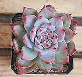 원종콜로라타 Echeveria colorata