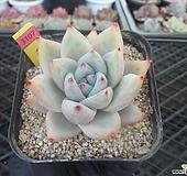야생콜로라타1-3107 Echeveria colorata
