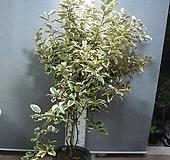 황금무늬보리수1번-특대품정원수-황홀한무늬가 일품-동일품배송|variegated
