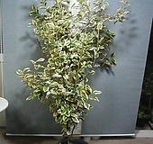 황금무늬보리수2번-특대품정원수-황홀한무늬가 일품-동일품배송|variegated