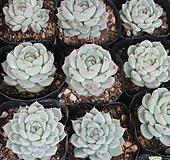 화이트자라고사랜덤발송 012312|Echeveria White Zaragosa