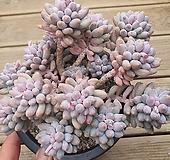 베이비핑거 249 Pachyphytum Machucae(baby finger)