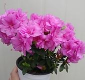 핑키스마일 중품|Echeveria cv Pinky