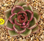 흑장미|Echeveria Black Rose