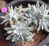 화이트그리니 두들레야 0123-8|Dudleya White greenii