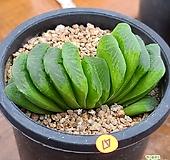그린옥선|Haworthia truncata